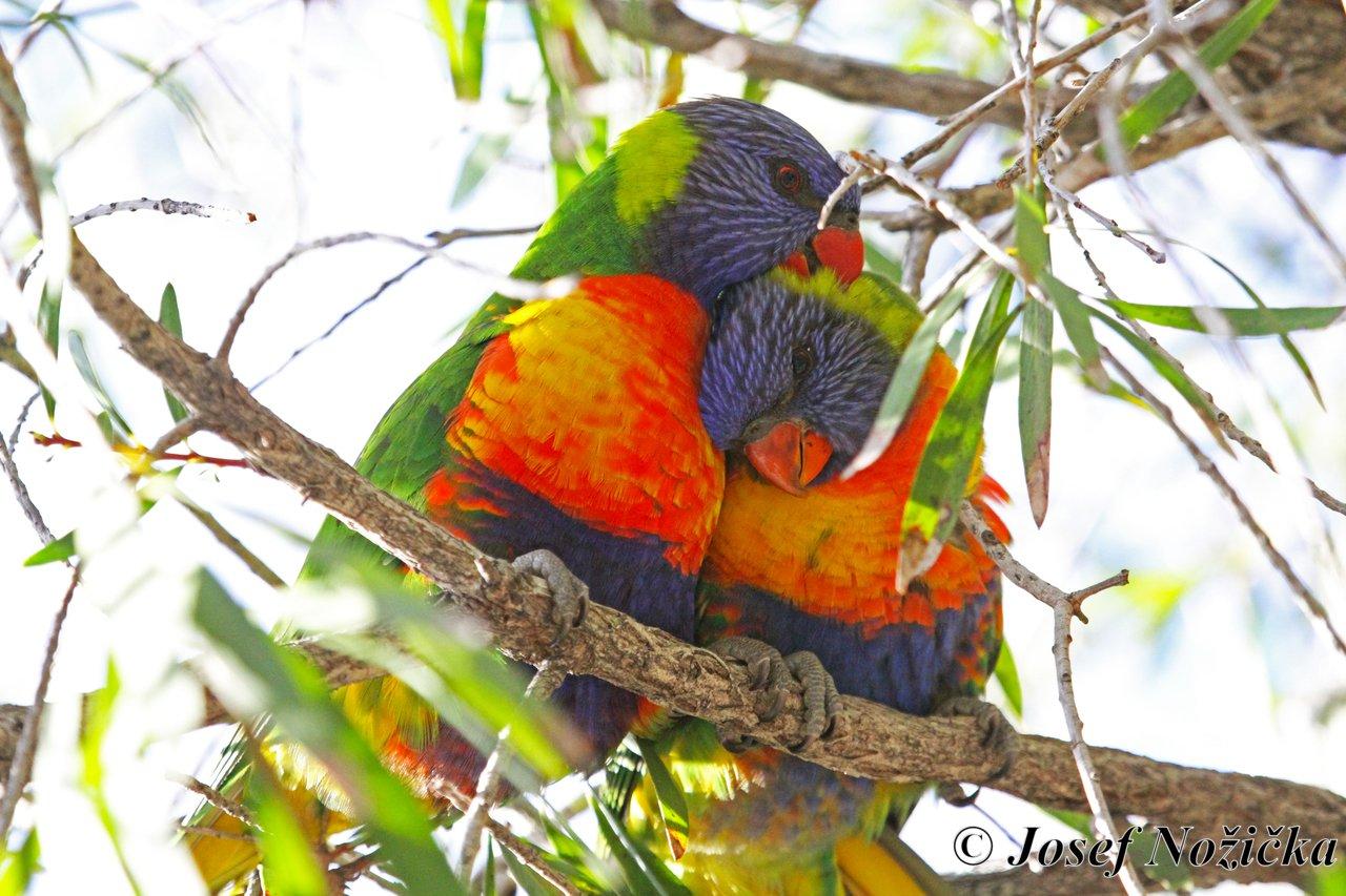 Austrálie - země papoušků